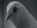 Mr. Nobody - Pigeon Superstition