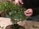 Cimatura dei Rami di un Bonsai